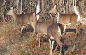 whitetail-deer-01